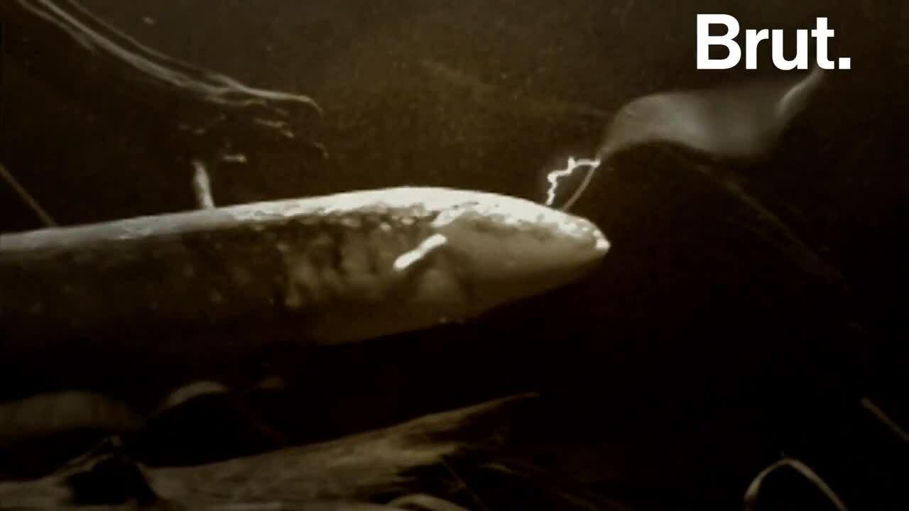 Đòn tấn công có thể làm tê liệt cá sấu của cá chình điện