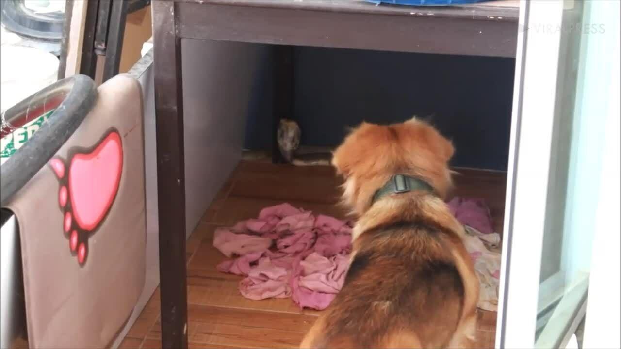 Chó sủa vang ngăn hổ mang chúa bò vào nhà chủ