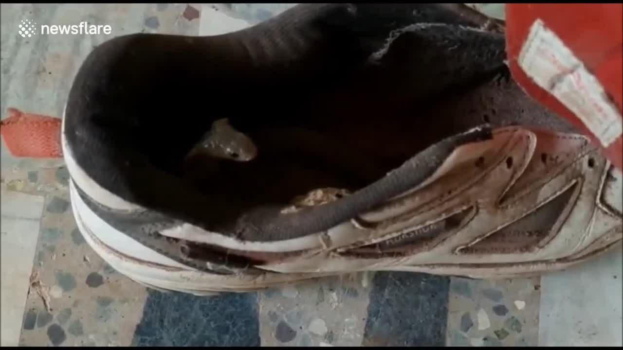 Hổ mang đất trốn trong giày của người đàn ông Ấn Độ