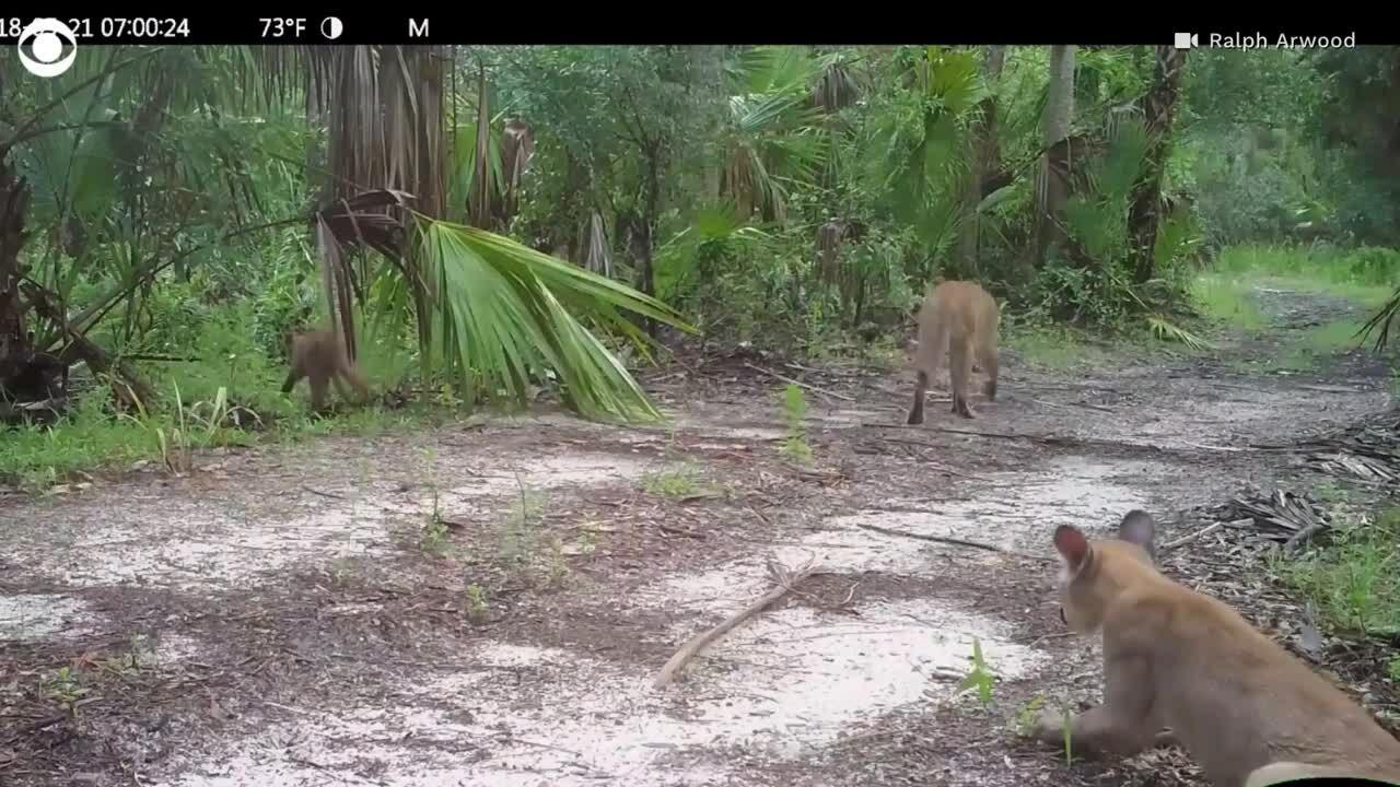 Căn bệnh lạ khiến báo và linh miêu đi lại khó khăn ở Florida