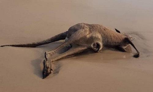 Chạy trốn cháy rừng, hàng chục kangaroo chết trên bãi biển Australia