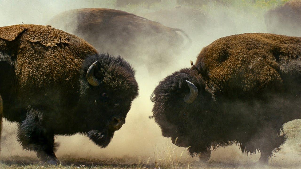 Bò rừng bison lao vào nhau tử chiến tranh quyền giao phối
