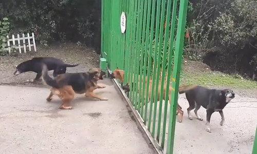 Đàn chó giải tán khi cánh cổng mở ra