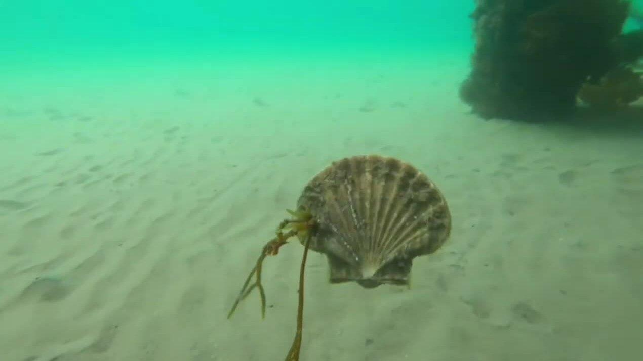 Sò biển bơi lội như cá ở vịnh Australia