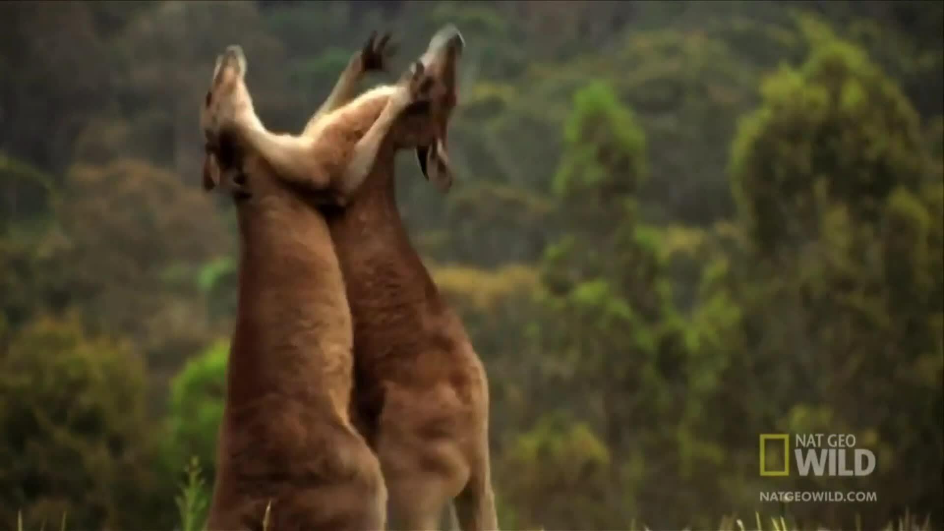 Kangaroo - võ sĩ đấm bốc thượng hạng trong tự nhiên