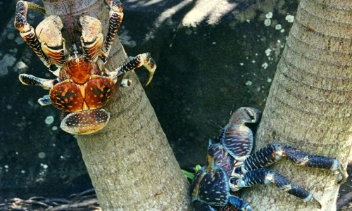 Loài cua khổng lồ chuyên leo cây hái dừa ở Indonesia
