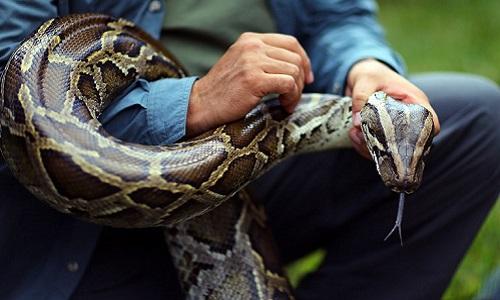 Thợ săn Mỹ lùng bắt trăn Miến Điện