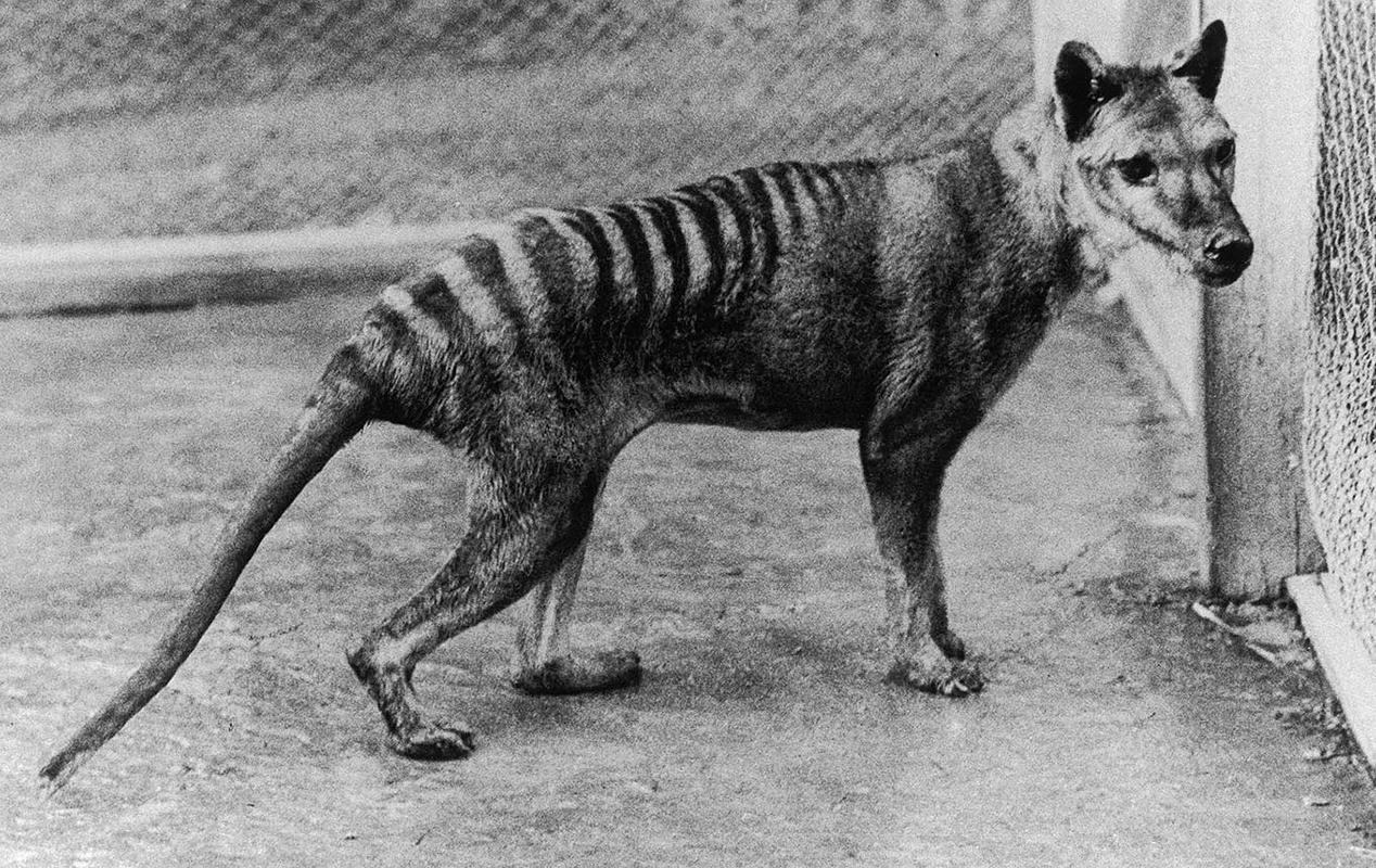 Thước phim cuối cùng về loài hổ Tasmania trước khi tuyệt chủng