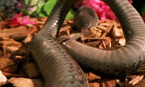 Chuột chù ngoạm cổ giết chết rắn sọc