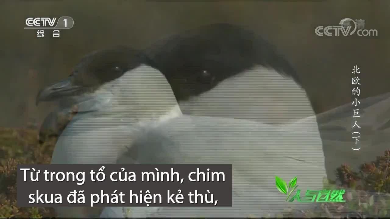 Chim mẹ skua tấn công cáo tuyết
