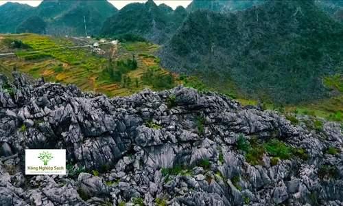 Hoa tam giác mạch, sản vật của Hà Giang