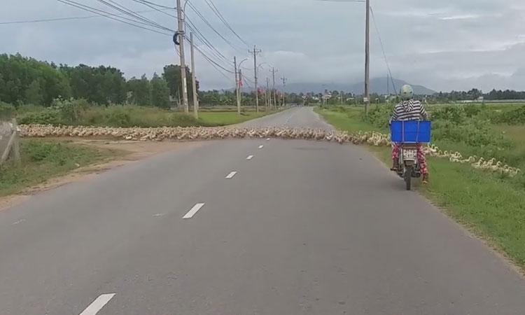 Đàn vịt 'diễu hành' gây khó cho người đi đường