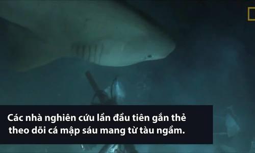 Lần đầu gắn thẻ theo dõi cá mập sáu mang từ tàu ngầm