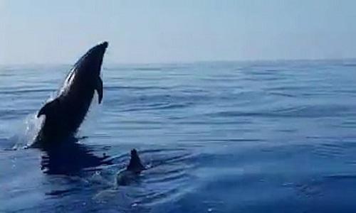 Cá heo mẹ mừng rỡ khi ngư dân thả con non mắc lưới