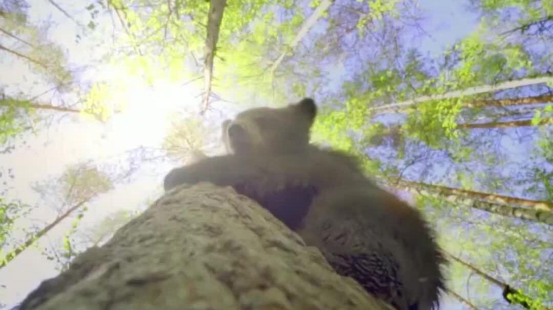 Gấu con mồ côi vượt qua nỗi sợ độ cao để học trèo cây