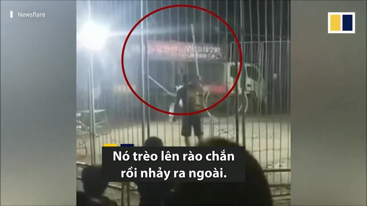 Hổ trốn khỏi lồng khi đang biểu diễn xiếc