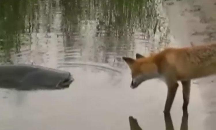 Cáo tinh ranh 'câu trộm' cá trê khổng lồ