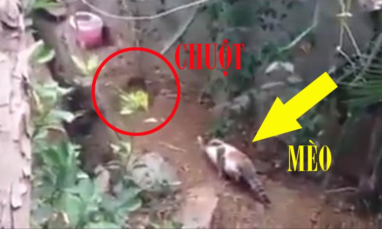 Mèo rình bắt chuột chuyên nghiệp khiến người xem 'té ngửa'
