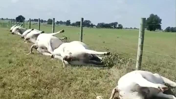 Bò chết la liệt do sét đánh trúng hàng rào