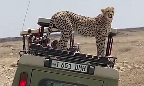 Báo săn nhảy lên nóc xe jeep chở khách