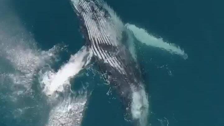 Cá voi liên tục đập vây vào mặt nước suốt một giờ