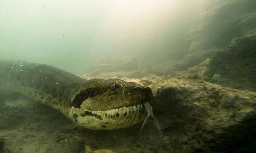 Thợ lặn đụng độ trăn anaconda 7 mét dưới lòng sông