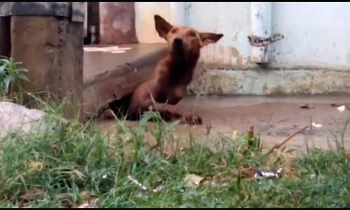 Chó mẹ tha 5 con thoát khỏi nước ngập