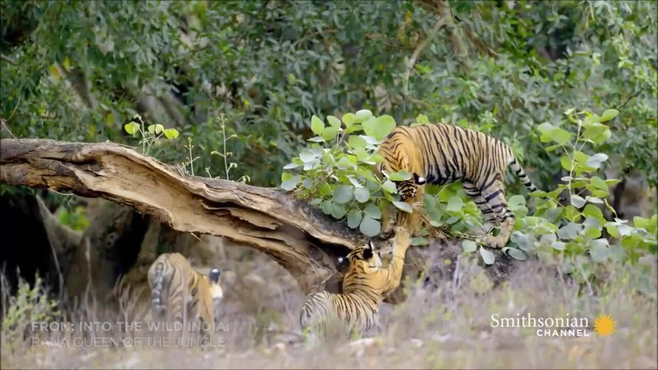 Hổ con phá hỏng chuyến săn hươu của mẹ