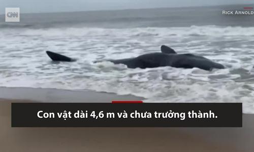 Cá nhà táng dài 4,5 m mắc cạn trên bãi biển