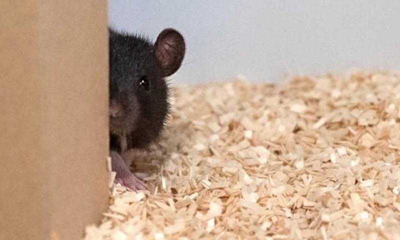 Các nhà khoa học dạy chuột chơi trốn tìm