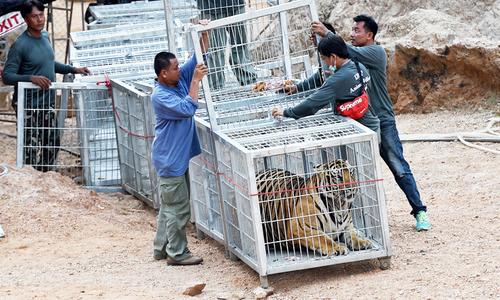 Hàng chục con hổ chết thảm sau chiến dịch giải cứu