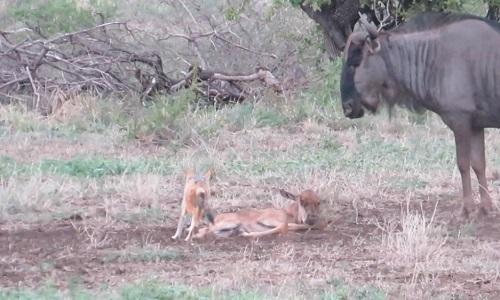 Linh dương mẹ húc văng con trong lúc đuổi chó rừng