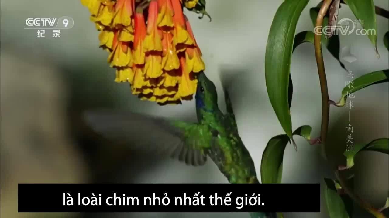 Loài chim nhỏ nhất thế giới có trí nhớ tốt
