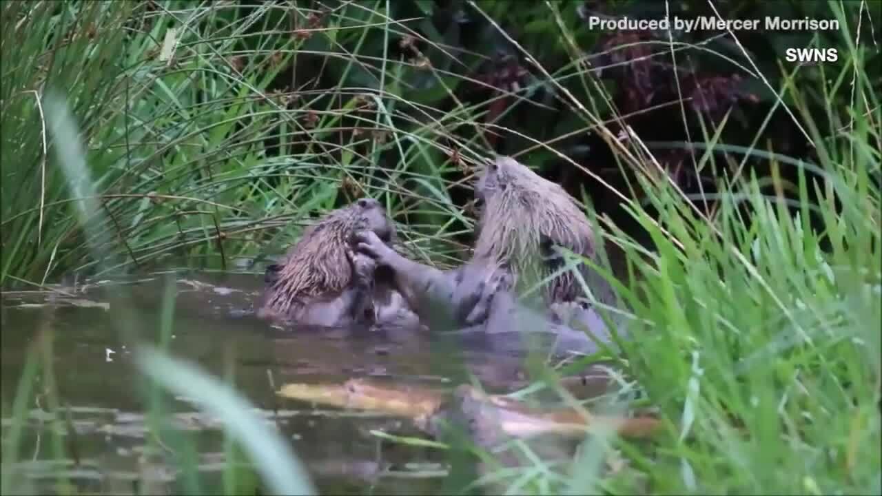 Đôi hải ly gây gổ trên sông Scotland