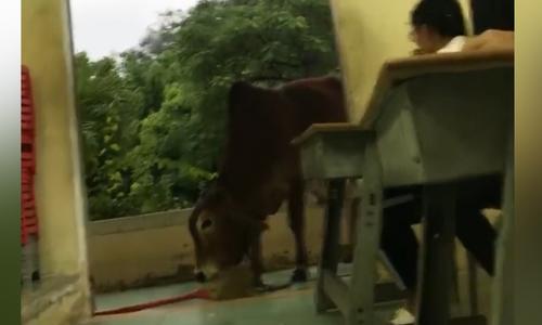 Lớp học nháo nhào vì được chú bò ghé thăm