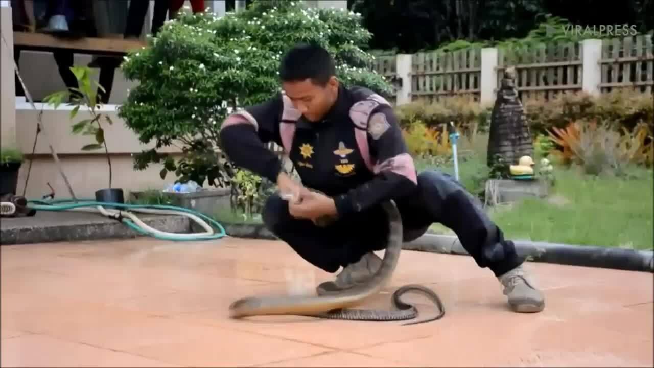 Hổ mang chúa vật lộn với rắn chuột dưới nền nhà