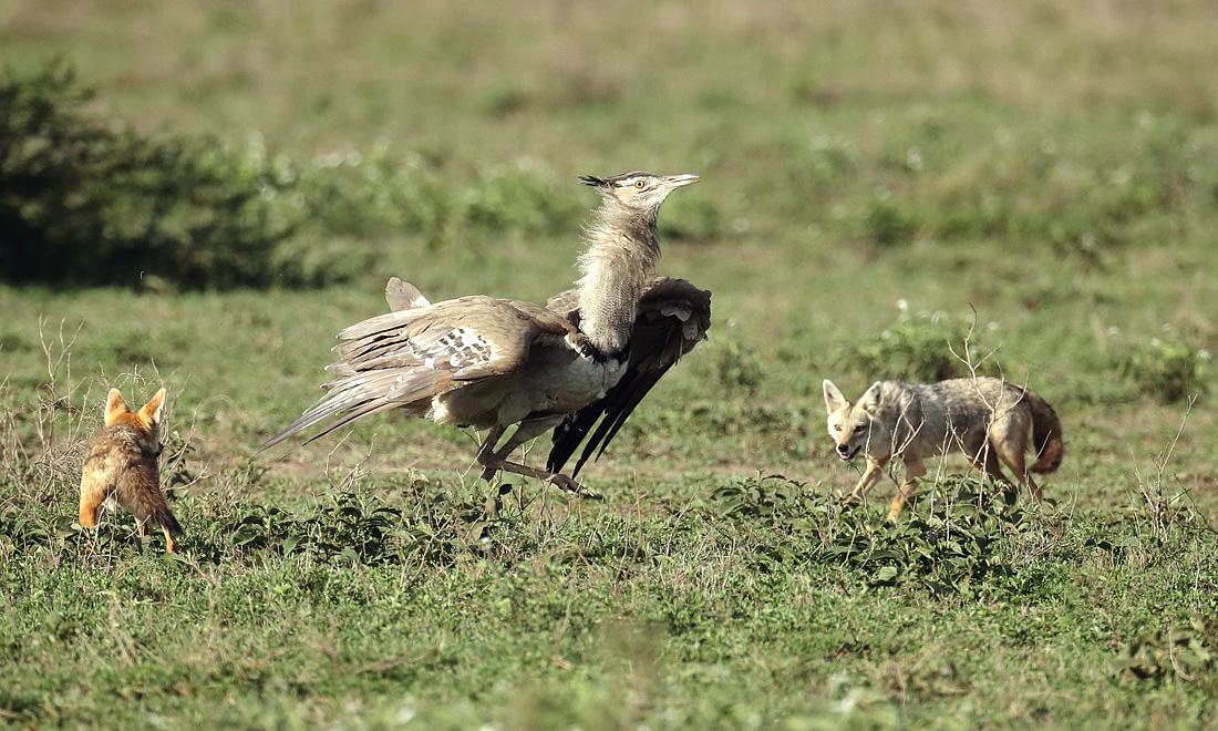 Loài chim biết bay lớn nhất châu Phi