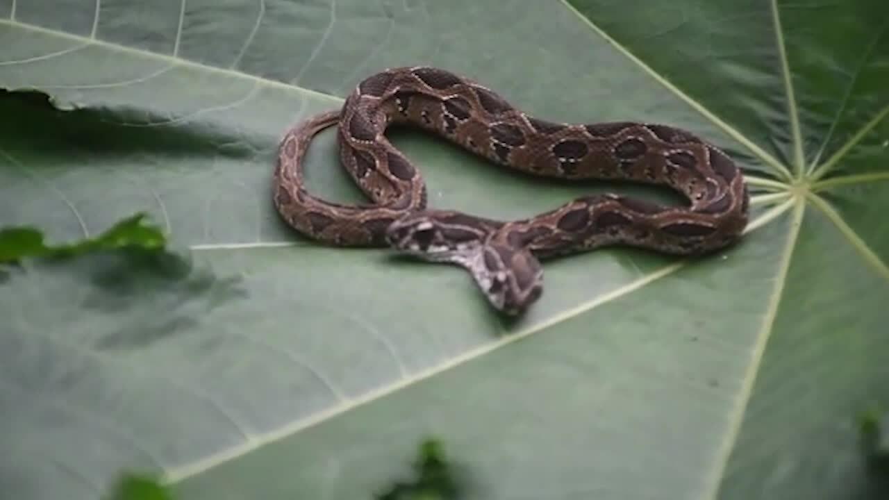 Rắn viper hai đầu hiếm gặp