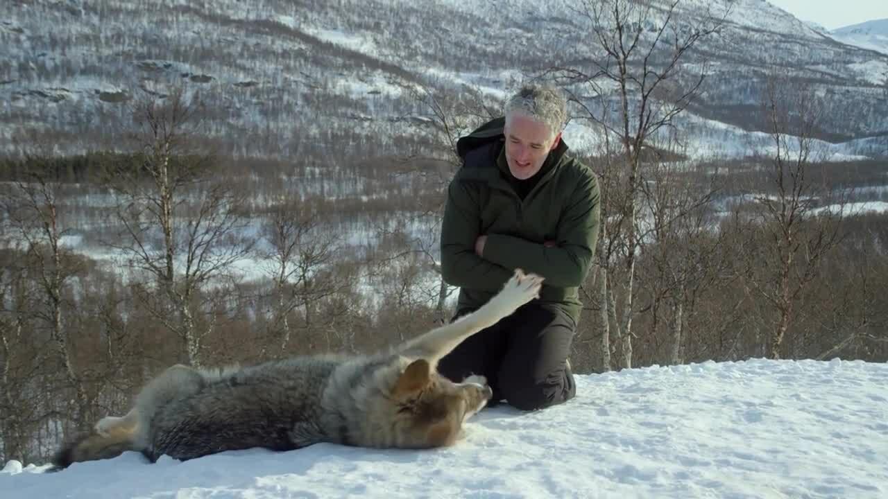 Nhà làm phim vuốt ve chó sói hoang dã như thú cưng