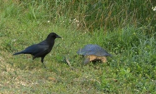 Rùa mẹ hy sinh quả trứng đầu để cứu đàn con khỏi quạ đen