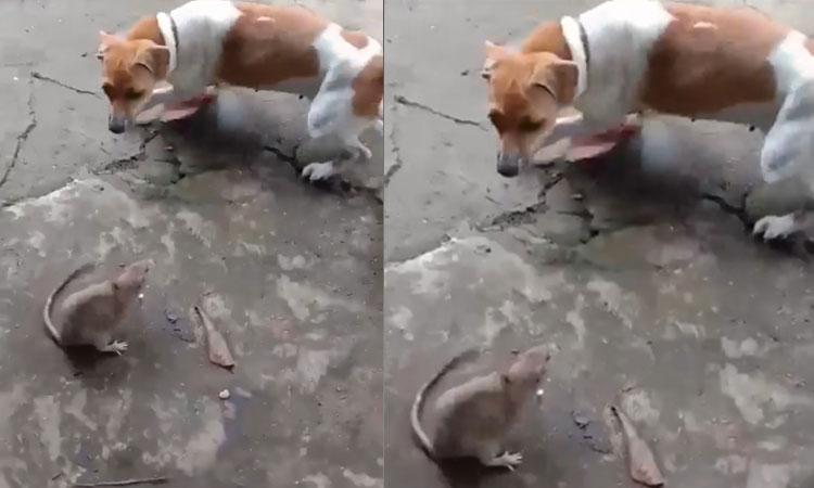 Chó và mèo bất lực khi gặp chuột
