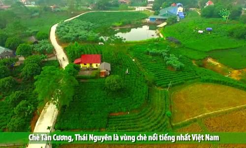 Quy trình sản xuất chè Thái Nguyên