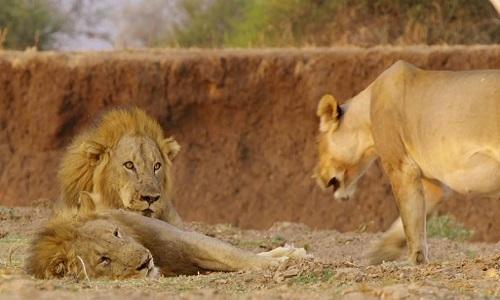 Cách sư tử cái quyến rũ để thao túng bạn tình
