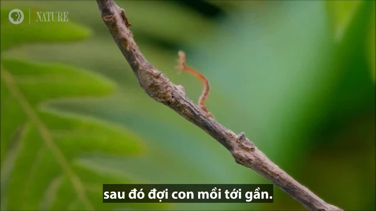 Sâu bướm vươn móng vuốt tấn công con mồi