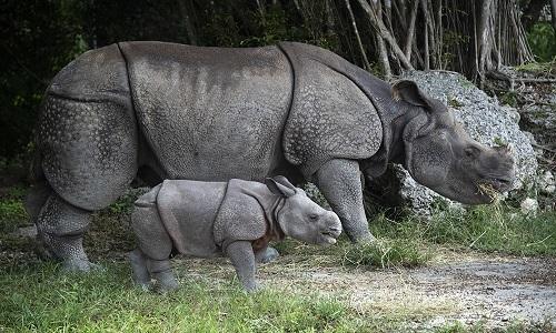 Tê giác mẹ ăn bao nhiêu để đủ sữa cho con bú?