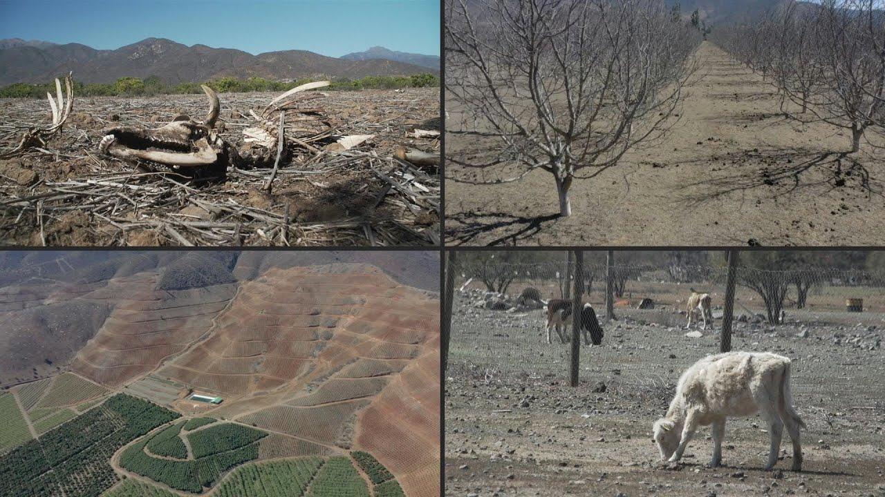 Hơn 100.000 động vật nuôi chết do hạn hán ở Chile