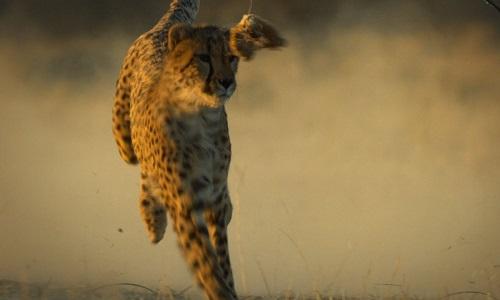 Báo săn mồ côi học cách vồ mồi