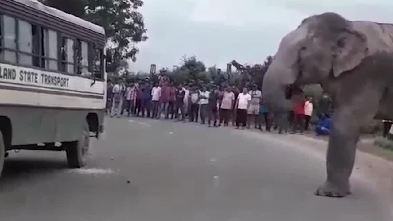Voi chặn xe buýt cướp đồ ăn