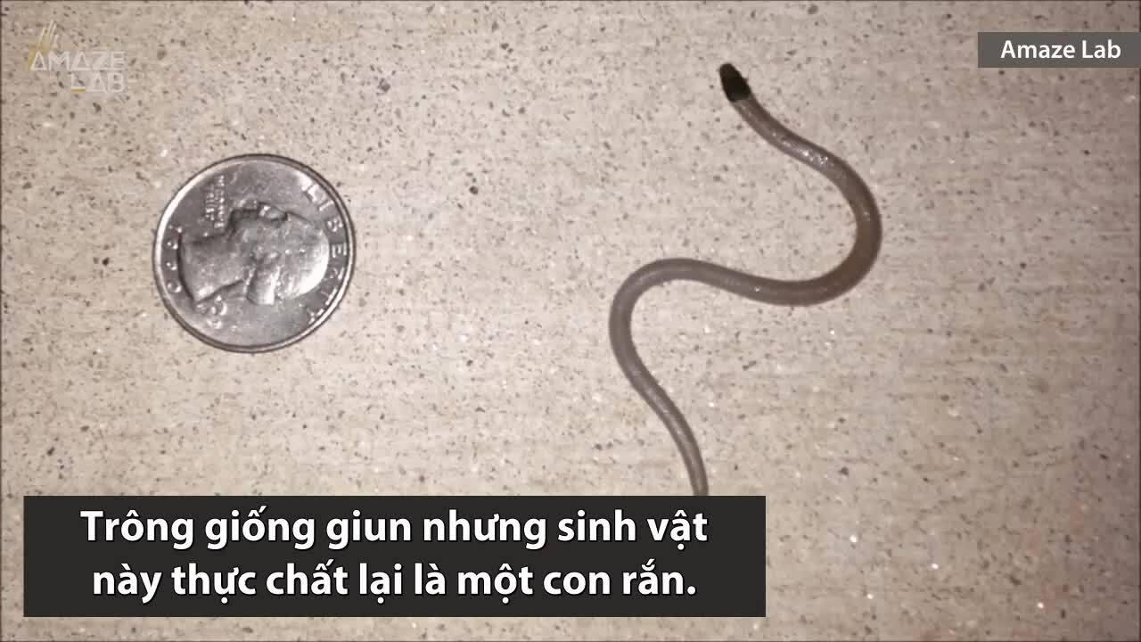 Loài rắn nhỏ bằng sợi mì