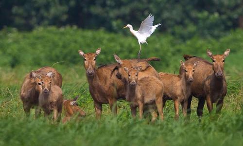Loài hươu giống con lai của bốn loài
